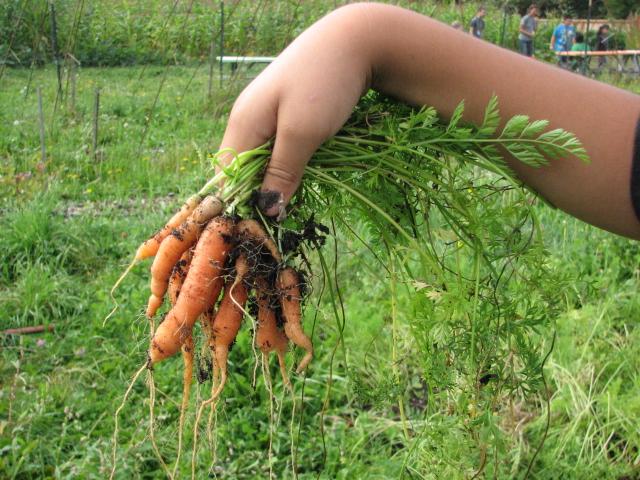 A handful of carrots!