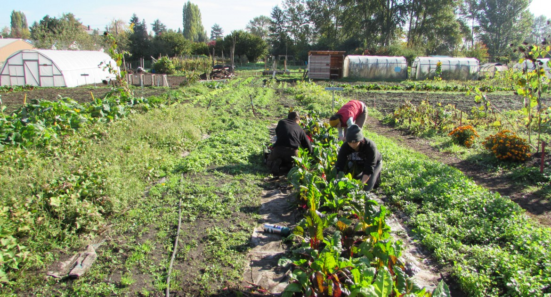 Harvesting chard at Marra Farm