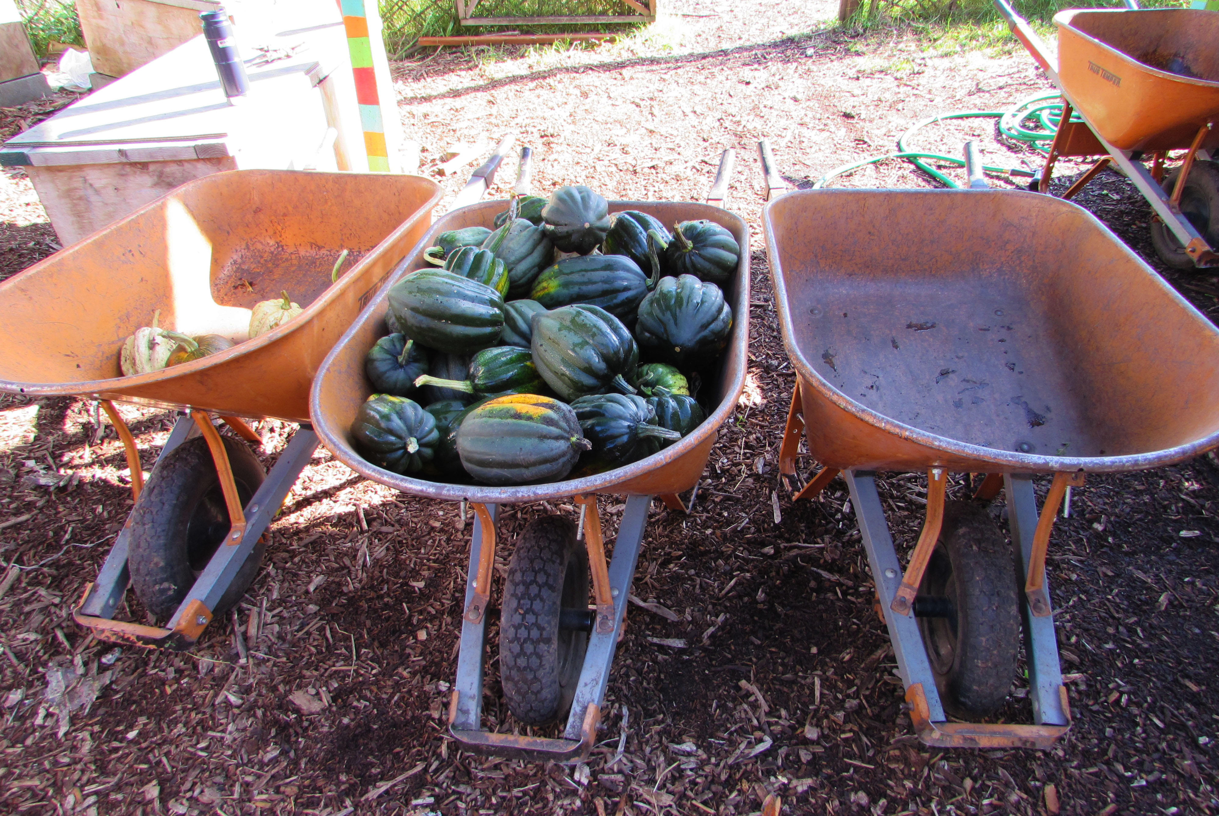 Acorn squash, harvested by the 5th-grade volunteers