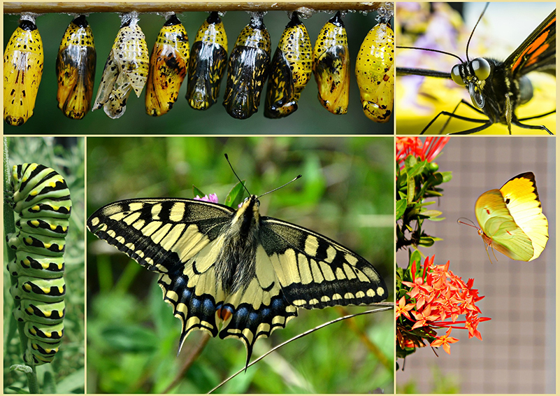 Caterpillar & butterfly collage