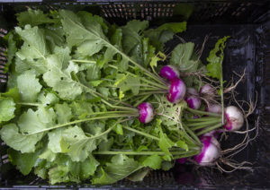 A harvest of radishes to be washed