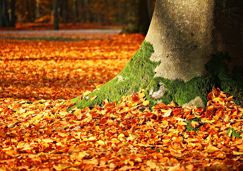 Fall leaves at the base of a large tree
