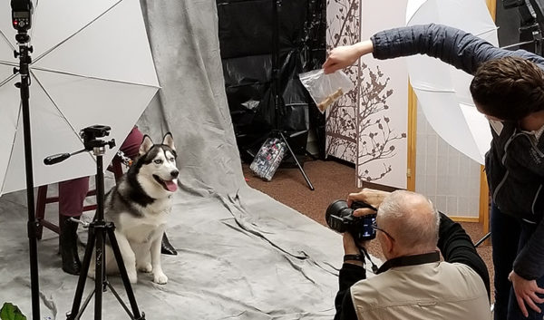 A volunteer usesa bag of food to lure this husky to look in the right direction.