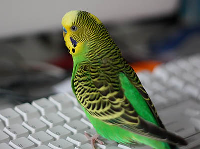 colorful neon green and yellow budgie bird stands on a computer keyboard